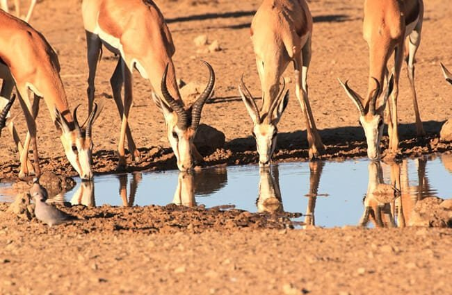 Bachelor Springbok herd at the water holePhoto by: Gary Simonshttps://pixabay.com/photos/springbok-drinking-waterhole-1630317/