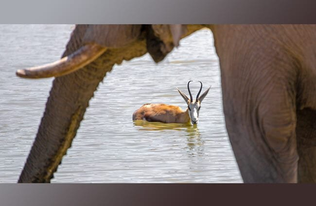 Springbok bathing while the elephant keeps watch Photo by: fxxu https://pixabay.com/photos/springbok-antelope-elephant-3758354/