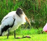 Wood Stork Photo By: Susan Young, Public Domain
