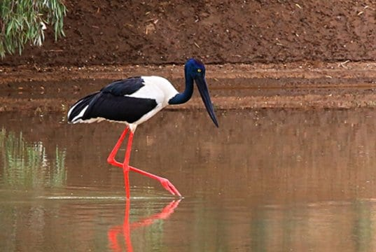 "female Black-necked Stork, also known as the ""JabiruPhoto by: Graham Winterfloodhttps://creativecommons.org/licenses/by-sa/2.0/"