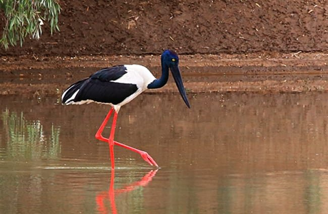 "female Black-necked Stork, also known as the ""JabiruPhoto by: Graham Winterflood//creativecommons.org/licenses/by-sa/2.0/"
