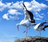 A Stork Couple Finishing Up Their Nest Photo By: Michael Schwarzenberger Https://pixabay.com/photos/stork-Bird-Animal-Flying-838424/