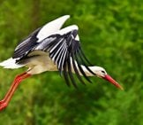 A Beautiful Stork Taking Flight Photo By: Mabel Amber, Still Incognito... Https://pixabay.com/photos/stork-Bird-Animal-Flight-Wing-4187520/