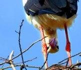 Peek-A-Boo! This Silly Stork Is Watching You! Photo By: Satynek Https://pixabay.com/photos/stork-Bird-Socket-Spring-4098979/
