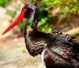 Black Stork Photo By: 5598375 //pixabay.com/photos/stork-Black-Stork-Animal-World-3345523/