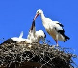 Stork Parent Feeding Some Very Large Babies! Photo By: Alexas_Fotos Https://pixabay.com/photos/stork-Feed-Young-Animals-Wing-3564786/