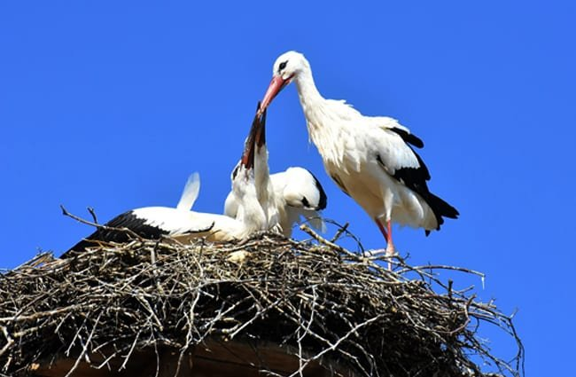 Stork parent feeding some very large babies! Photo by: Alexas_Fotos //pixabay.com/photos/stork-feed-young-animals-wing-3564786/