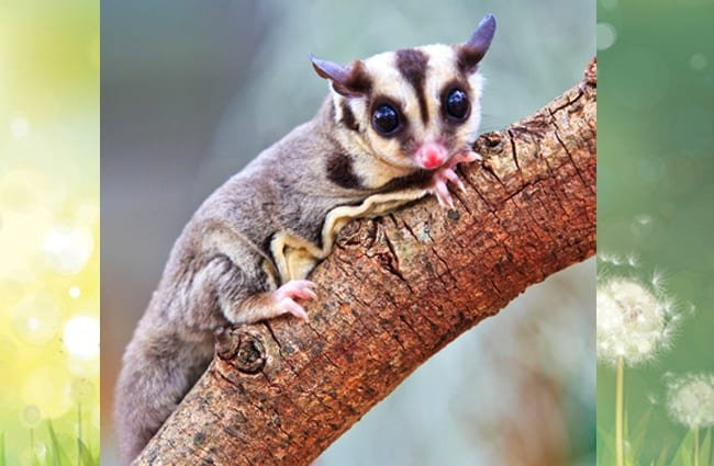 Sugar Glider pausing for a picPhoto by: (c) Reeed www.fotosearch.com