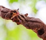 A Pair Of Beautiful Sugar Gliders Photo By: (C) Reeed Www.fotosearch.com