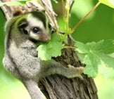 Sugar Glider Clinging To A Small Tree Photo By: (C) Praisaeng Www.fotosearch.com