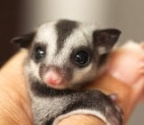 Pet Sugar Glider Photo By: (C) Praisaeng Www.fotosearch.com
