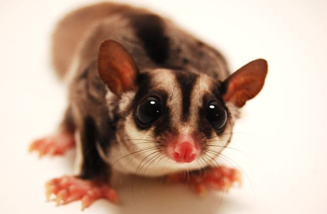 Portrait of a Sugar Glider Photo by: GarrettTT https://creativecommons.org/licenses/by-sa/2.0/