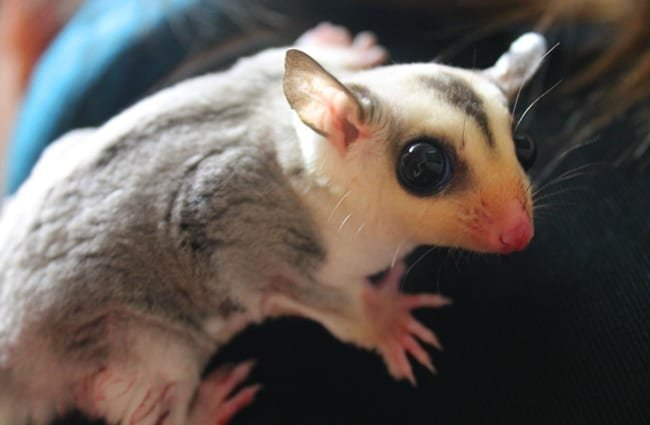 Pet Sugar Glider Photo by: Mariposa Veterinary Wellness Center in Lenexa, KS https://creativecommons.org/licenses/by-sa/2.0/
