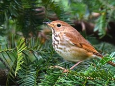 Hermit Thrush in a fir treePhoto by: Andy Reago & Chrissy McClarren//creativecommons.org/licenses/by/2.0/