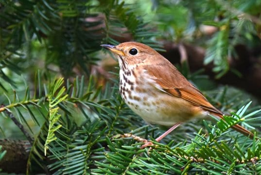 Hermit Thrush in a fir treePhoto by: Andy Reago & Chrissy McClarrenhttps://creativecommons.org/licenses/by/2.0/