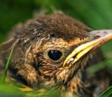 Baby Thrush Photo By: Papooga Https://creativecommons.org/licenses/by/2.0/