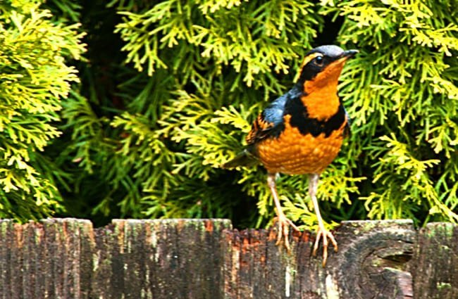 Varied Thrush Photo by: sam may https://creativecommons.org/licenses/by/2.0/