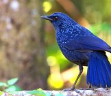 Blue Whistling Thrush Photo By: Jason Thompson Https://creativecommons.org/licenses/by/2.0/