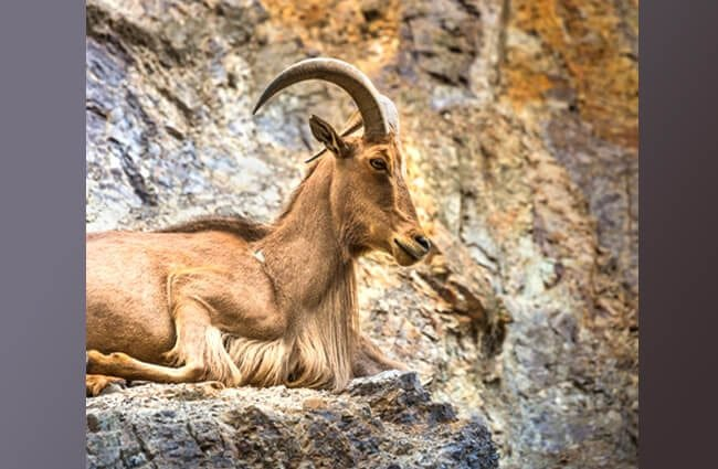 West Caucasian Tur goat on a rock ledge Photo by: (c) Curioso_Travel_Photo www.fotosearch.com