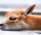 Baby Vicuna -- All Tuckered Out! Photo By: Tambako The Jaguar Https://creativecommons.org/licenses/by-Nd/2.0/