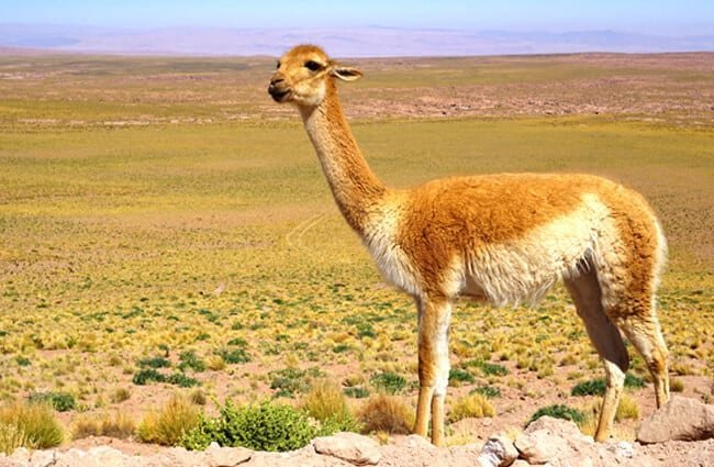 A wild vicuna on the roadside Photo by: DLR German Aerospace Center https://creativecommons.org/licenses/by-nd/2.0/