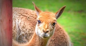Vicuna selfie!Photo by: analogicushttps://pixabay.com/photos/vicuna-camel-andes-mammal-cute-4243221/