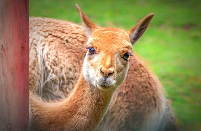 Vicuna selfie!Photo by: analogicus//pixabay.com/photos/vicuna-camel-andes-mammal-cute-4243221/