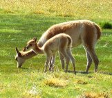 Vicuna Mom And Baby Photo By: Falco Https://pixabay.com/photos/chile-South-America-Nature-1038348/