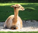 Vicuna Resting In The Morning Sun Photo By: Minka2507 Https://pixabay.com/photos/vicuna-Paarhufer-Calluses-Ohler-3655616/