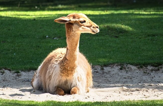Vicuna resting in the morning sun Photo by: minka2507 //pixabay.com/photos/vicuna-paarhufer-calluses-ohler-3655616/