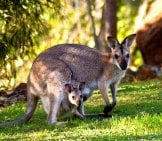 Rednecked Wallaby Mom With Joey In Her Pouch Photo By: Sandid Https://pixabay.com/photos/wallabies-Kangaroo-Rednecked-Wallaby-411548/