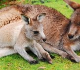 Mother Wallaby Relaxing In The Sun Photo By: Lonewombatmedia Https://Pixabay.com/Photos/Kangaroo-Joey-Wallaby-Baby-Cute-802458/