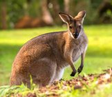 Portrait Of A Rednecked Wallaby Photo By: Sandid Https://Pixabay.com/Photos/Wallaby-Rednecked-Wallaby-Fur-Brown-2454033/