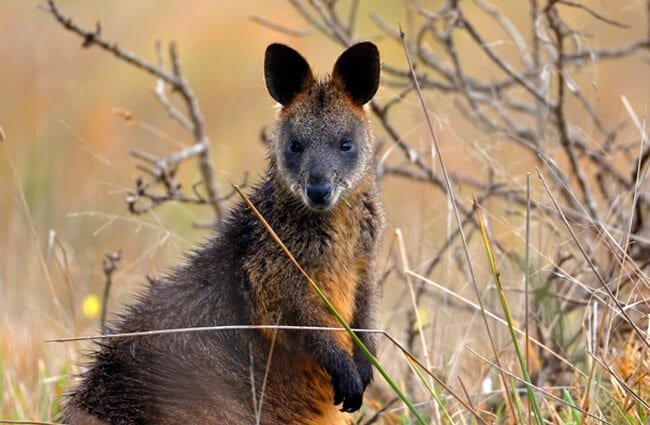 Beautiful Wallaby in the bush Photo by: Ed Dunens https://creativecommons.org/licenses/by/2.0/