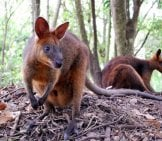 A Pair Of Wallabies In A Northern Australia Forest Photo By: Mackenzie And John Https://creativecommons.org/licenses/by/2.0/
