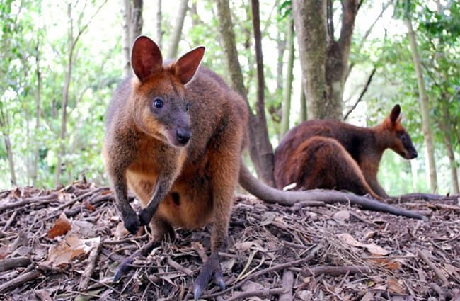 Wallaby Description Habitat Image Diet And Interesting Facts