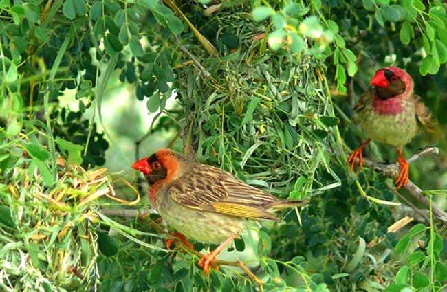 A pair of Red-Billed Queleas building a nest Photo by: Bernard DUPONT https://creativecommons.org/licenses/by/2.0/
