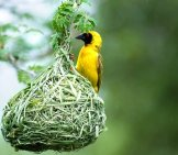 Southern Masked Weaver Guarding His Nest Photo By: Chris Eason Https://creativecommons.org/licenses/by/2.0/