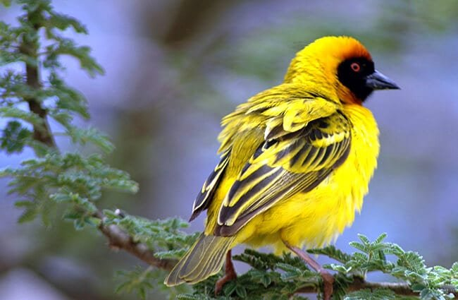 Southern Masked WeaverPhoto by: Sheldon_55https://pixabay.com/photos/southern-masked-weaver-africa-bird-3838542/
