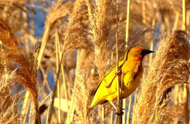 Yellow Weaver in a reed field Photo by: Delyth Williams https://pixabay.com/photos/bird-yellow-weaver-reeds-rushes-3732203/