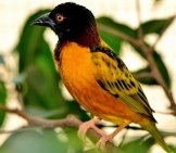 A Pretty Village Weaver Photo By: Ray Miller Https://pixabay.com/photos/village-Weaver-Bird-Exotic-Wildlife-398931/