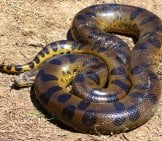 Anaconda Coiled To Strikephoto By: Dave Lonsdalehttps://creativecommons.org/licenses/by-Sa/2.0/