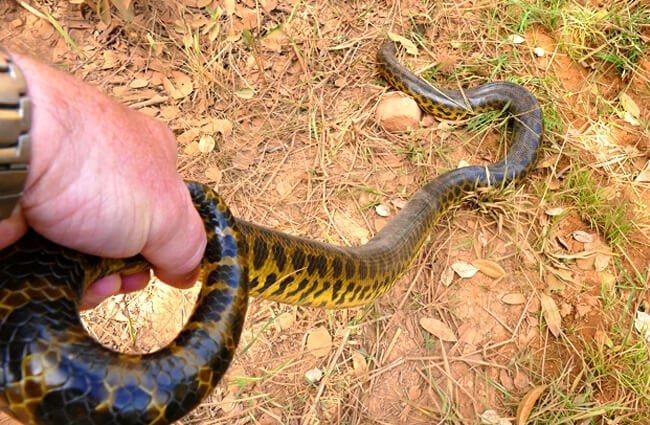 Yellow Anaconda held by the tail Photo by: Bernard DUPONT https://creativecommons.org/licenses/by-sa/2.0/