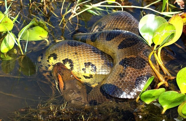 Yellow Anaconda coiled in shallow waters Photo by: Denis Doukhan https://pixabay.com/photos/anaconda-snake-reptile-constrictor-3778041/