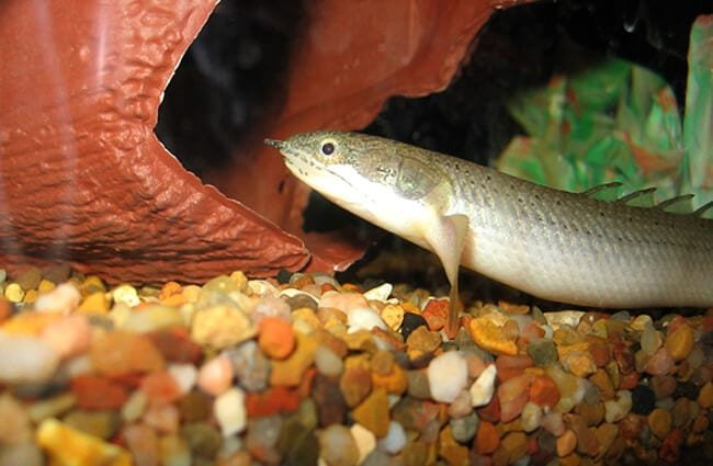 Senegal Bichir in an aquariumPhoto by: Mitternacht90 at en.wikipedia [Public domain]