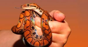 This pet is a young Rainbow BoaPhoto by: sipahttps://pixabay.com/photos/snake-rainbow-boa-reptile-scale-873308/