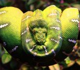 This Emerald Tree Boa Is Simply Beautiful Photo By: Ingve Moss Liknes Https://creativecommons.org/licenses/by/2.0/
