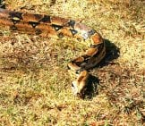 Boa On The Ground Out Back Photo By: James Emery Https://creativecommons.org/licenses/by/2.0/