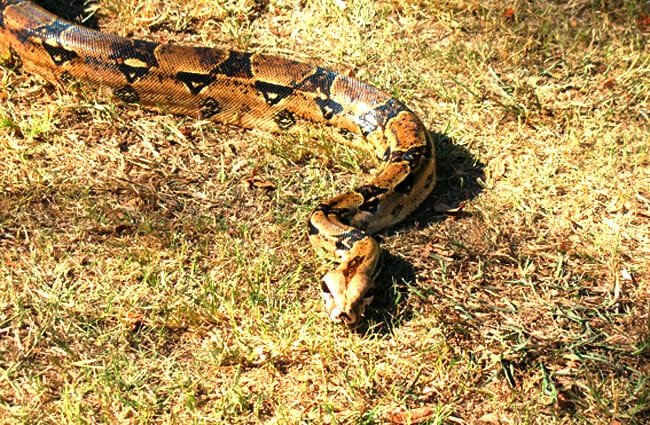 Boa Constrictor Description Habitat Image Diet And Interesting Facts