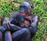 Mother Bonobo Cradling Her Toddler Photo By: Pelican //creativecommons.org/licenses/by-Sa/2.0/